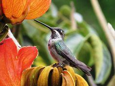 Foto bico-reto-de-banda-branca (Heliomaster squamosus) por José Silvio Abras | Wiki Aves - A Enciclopédia das Aves do Brasil