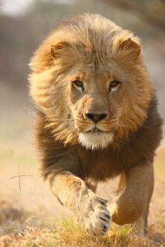 Bellissimo primo piano di un leone in corsa...