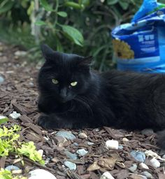 My black beauty Merlin he turns 9 this year! Thought you guys might appreciate my baby as much as I do Nature Animals, Animals And Pets, Cute Animals, Baby Cats, Cats And Kittens, Black Cat Eyes, Black Kitty, Pretty Cats, Pretty Kitty
