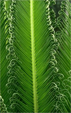 Spirals in nature Patterns In Nature, Textures Patterns, Spirals In Nature, In Natura, Natural Forms, Macro Photography, Shades Of Green, Mother Nature, Nature Nature
