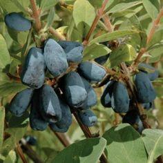"""Honeyberry """"Blue Velvet"""""""