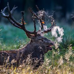 Smoking Red Deer ;-)  The Story: http://www.ingogerlach.com/dampfende-rothirsche