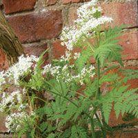 Sweet Cecily (Garden Myrrh): Myrrhis odorata