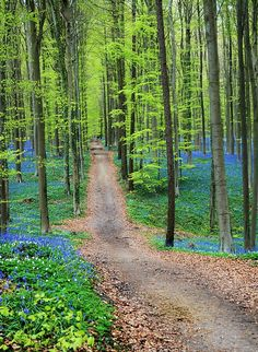 Trail Through The Bluebells. Photography by Andrea Rea. A trail though the Hallerbos in Belgium, also known as the Blue Forest, where once a year the forest floor is covered in millions of bluebells. Original work available as framed print, canvas, and more only on Fine Art America and Pixels.com. https://andrea-rea.pixels.com/ tags: Blue forest, Belgium, Brussels, Halle, ecotourism, unique, forest blue flowers, bluebells, blue flowers, natural beauty, natural phenomenon, nature photography