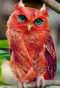 """NOT """"Red owl. According to Wikipedia, the Red Owl is mainly in Madgascar. Is considered Vulnerable. HOAX--artificially colored--and this owl is not supposed to be an earred owl! Real thing looks like a barn owl. Exotic Birds, Colorful Birds, Exotic Pets, Colorful Animals, Rare Birds, Unique Animals, Exotic Flowers, Pretty Birds, Beautiful Birds"""