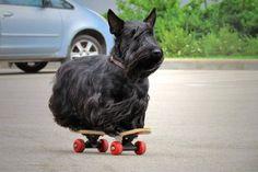 Skateboard scottie...as one does.