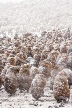 the storm - emperor penguin chicks