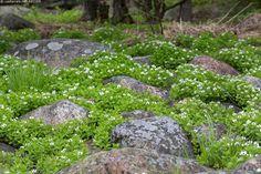 Ruohokanukka (Cornus suecica) - Cornus suecica kasvi kesä kukka ruohokanukka kasvusto kivi kivikko karu