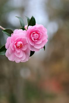 Rare Flowers, Botanical Flowers, Amazing Flowers, Beautiful Roses, Pretty Flowers, Pink Roses, Pink Flowers, Lotus Flower Pictures, Cherry Blossom Season