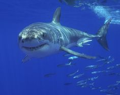 Great White Shark, Carcharodon carcharias.