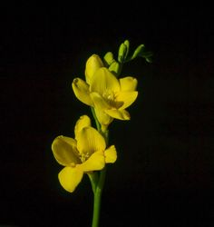 Yellow Freesia  by lizardofthewisard