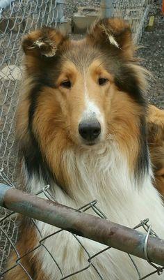 Smooth Collie, Rough Collie, The Perfect Dog, Sheltie, I Love Dogs, Corgi, Star, Nature, Animals