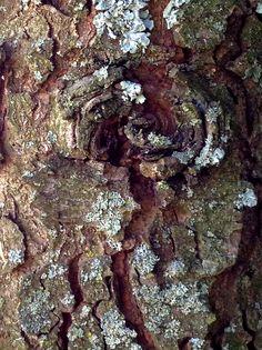 Bark on Fir Tree--Tillamook Oregn