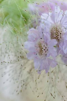 Scabiosa and Panicum grass picture by Clare West http://www.clarewestphotography.co.uk/