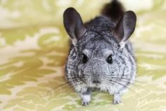 Chinchilla looking at camera. - JustAsLive/Moment/Getty Images