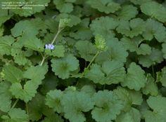 alehoof plant   ... Gill-over-Ground, Ground Ivy, Hedgemaids, Alehoof (Glechoma hederacea