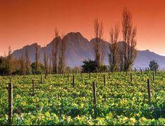The vineyards in Stellenbosch, Stellenbosch, South Africa