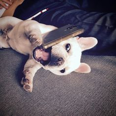 """""""OMG she said WHAT?!?!"""", Sandy, the Gossiping French Bulldog, @sandy_the_frenchie"""