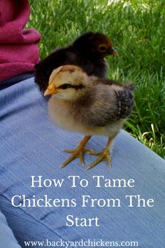 How To Tame Chickens from the Start Many chicken keepers these days have friendly, tame flocks of birds they consider to be their pets. Chicken Garden, Chicken Life, Backyard Chicken Coops, Chicken Coop Plans, Diy Chicken Coop, Small Chicken Coops, Chicken Pen, Chicken Feeders, Raising Backyard Chickens