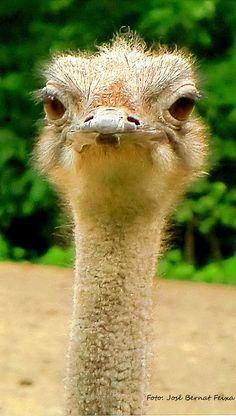 Struisvogel, Amersfoort