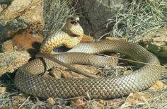 Australian Eastern Brown Snake