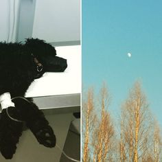 Blogissa Napsun kuulumisia viikonlopulta  My dog became sick this week. #australianlabradoodle #labradoodle #australiancobberdog #instadog #mydog #ilovemydog #dogsofinstagram #doodlesofinstagram #koira #tiputuksessa #atthehospital #uusipostausblogissa #linkkiprofiilisssa #moreontheblog #linkinbio #kodinkuvalehti #sulassasovussa @kodinkuvalehti