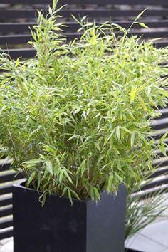 Bambu   Blomsterlandet.se Fargesia, Planting Plan, Porch Area, Planter Boxes, Garden Plants, Plank, Natural Stones, Landscape Design, Outdoor Living