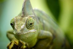 A chameleon in marwell zoo, hampshire, UK Cute Reptiles, Reptiles And Amphibians, Geckos, Madagascar, Endangered Tigers, Marwell Zoo, Insect Photos, Tree Frogs, Monarch Butterfly