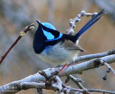 Superb Fairy wren Birds 2, Small Birds, Little Birds, Colorful Birds, Love Birds, Pretty Birds, Beautiful Birds, Animals Beautiful, Bird Migration