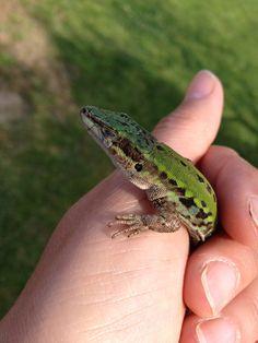Green lizard! Vinci