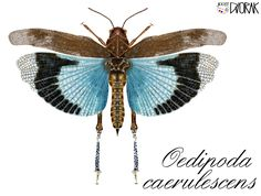 I draw your own pictures on your PC- Oedipoda caerulescens