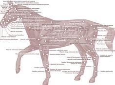 Récapitulatif des muscles du cheval
