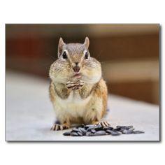 Chipmunk Picture Postcards