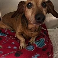 Pin By Dawn Z On Adopt In 2020 With Images Pet Adoption Dachshund Adoption Dog Adoption