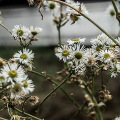 Good morning 🌼  .  #daisy #flower #cute #cutie #naturelove #naturelover #love #liebe #forest #blume #photooftheday #photography #macro #floral #art #artist #nature #forest #travel #wander #wanderlust #freedom #peace #light #sun #boho #weekend