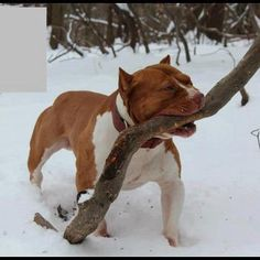 Love this!  Big gorgeous pitty with a big stick... that baby just looks so proud...