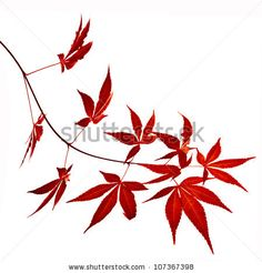 Tattoos: Autumn foliage Japanese Red maple tree leaves (Acer ...