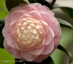Camellia Japónica Rosa