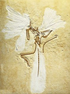 The Archaeopteryx story began in the summer of 1861, two years after the publication of the first edition of Darwin's Origin of Species, when workers in a limestone quarry in Germany discovered th...