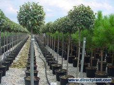 Olijfwilg als boom (Elaeagnus ebbingei) kopen en online bestellen