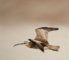 Whimbrel by Jared Hughey