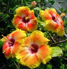 Imagen de http://www.exotic-hibiscus.com/images/acapulcogoldquadssm.jpg.