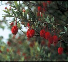 Crinodendron hookerianum 8 flower