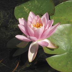 LILY PLANTS 1 X FABIOLA UK HARDY WATER LILLIES POND LAKE