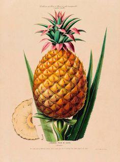 antique french botanical print ananas pineapple tropical fruit illustration digital download