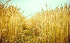 Скачать обои макро, поле, колосья, колоски, пшеница, раздел макро в разрешении 1920x1200