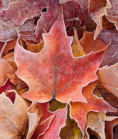 """""""Maple Frosting"""" icy Autumn leaves in Bend, Oregon"""