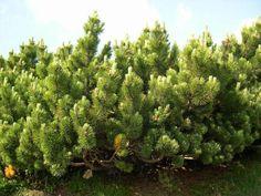 Pinus mugo Mugo Pine, Pine Forest, Evergreen, Yard, Fantasy, Nature, Patio, Naturaleza, Fantasy Books