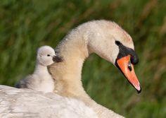 Swan, baby swan, birds wallpaper