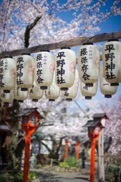 Garden lanterns and Sakura (Cherry blossom), Hirano-jinja shrine, Kyoto All About Japan, Garden Lanterns, Paper Lanterns, Family Road Trips, Kyoto Japan, Japan Japan, Japan Trip, Yamaguchi, Photos Voyages